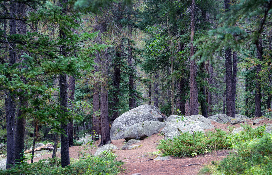 giant boulders rest in a wooded mountain top in Colorado USA Tree Plant Forest Land Growth Tranquility No People Nature Beauty In Nature WoodLand Tranquil Scene Day Scenics - Nature Pine Tree Rock Green Color Non-urban Scene Solid Rock - Object Environment Coniferous Tree Pine Woodland Outdoors Boulders Colorado Usa