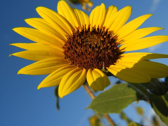 Sunflower and blue sky EyeEm Selects Flower Flowering Plant Yellow Flower Head Fragility Plant Beauty In Nature Inflorescence Close-up Nature No People Day Outdoors Sunflower Growth