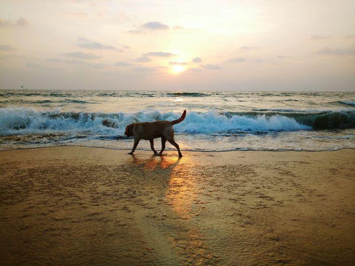 Horse on beach against sky during sunset