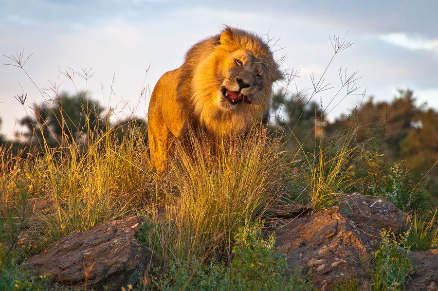 Lion feeding at sunset Amani Lodge Animal Themes Animals In The Wild Lion Nature One Animal Outdoors Windhoek, Namibia