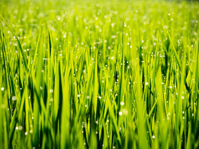 morning dew Backgrounds Beauty In Nature Blade Of Grass Close-up Color Palette Dew Drop Droplet Field Freshness Grass Green Color Growth Morning Dew Nature Outdoors Purity Rice Ricefield Tranquility Water Water Drop Wet