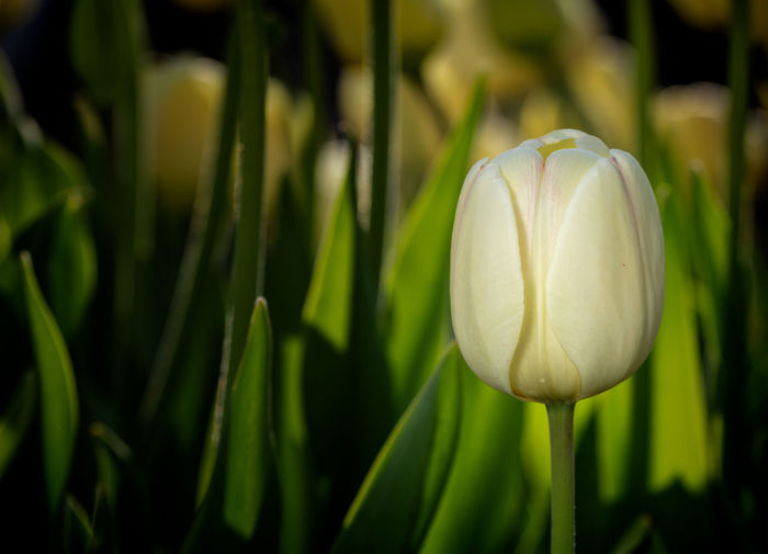 tulip Spring Plant Growth Beauty In Nature Flower Fragility Vulnerability  Flowering Plant Close-up Freshness Focus On Foreground Green Color Nature No People Petal Day Flower Head Inflorescence White Color Land Outdoors
