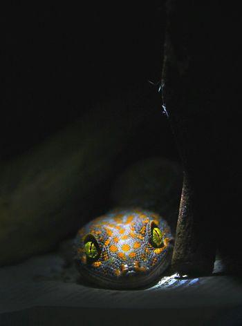 Gecko Gecko Lizard Gecko In The Dark Animals Lizards Animal Eye Animal Photography Animalphotography Animals In Captivity Animal Head  Sell Sellphotos Sell