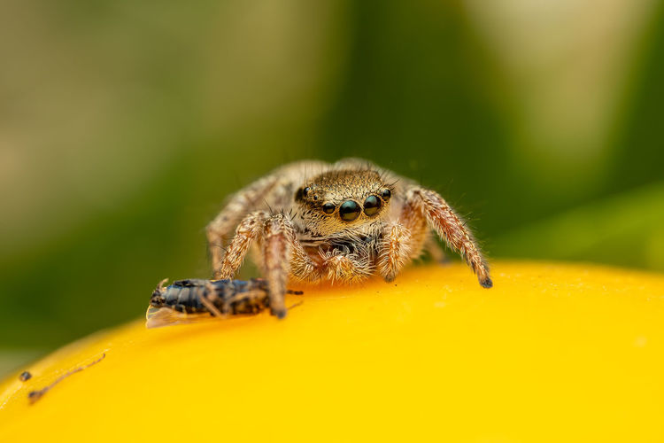 Close up of a jumping spider with prey.