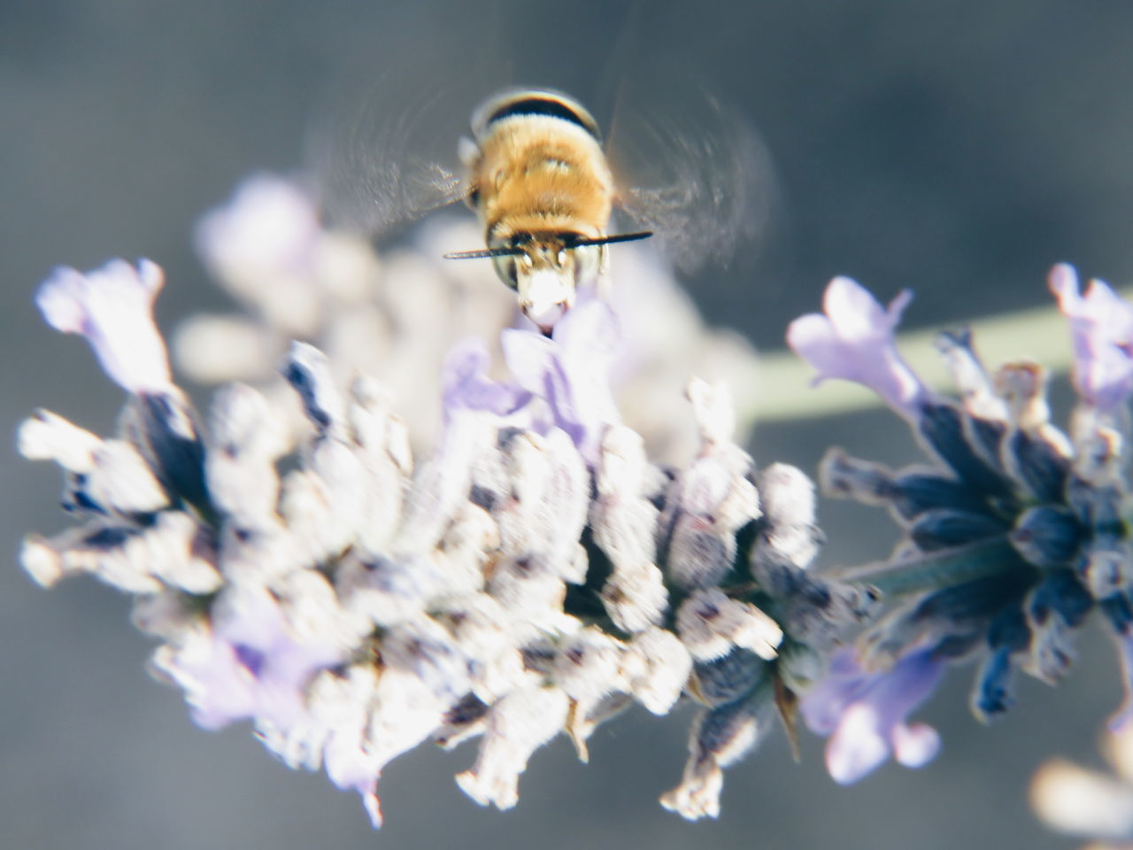 insect, animals in the wild, animal themes, one animal, flower, fragility, animal wildlife, bee, nature, beauty in nature, selective focus, honey bee, no people, symbiotic relationship, pollination, petal, flying, close-up, day, buzzing, outdoors, growth, plant, freshness, flower head