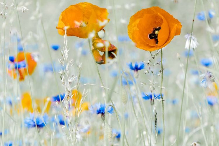 Vulnerability  Cornflower Scenics Nature Idyllic Scenery Beauty In Nature Orange Poppy Flowers Poppies  Wildflowers Nature Art Grass Meadow Meadow Flowers Blue Background Flower Poppy Uncultivated Flower Head Close-up Plant Wildflower Blooming Plant Life Blossom In Bloom Petal Pollen Flora My Best Photo