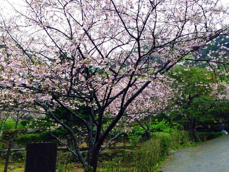 Sakura Flowers Trees