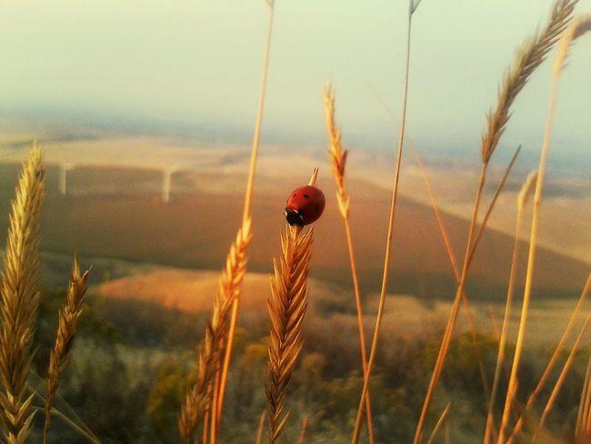 Ladybug Beautifil Wheatgrass