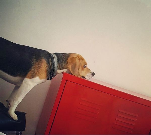 Breathing Space Pets Dog Domestic Animals One Animal Animal Day No People Beagle Indoors  Sitting Animal Themes NOstress Calm