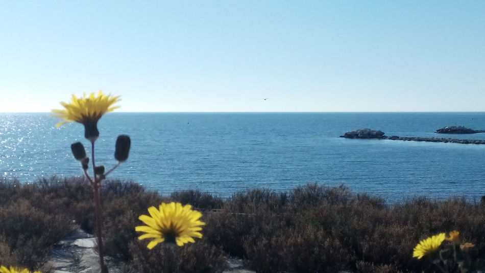 margherite gialle sul lungomare del sole Flower Beauty In Nature Wildflower Nature Sea Plant Scenics Outdoors Horizon Over Water Day Sky No People Water Flower Head Freshness