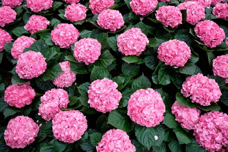 Hydrangea flower, pink Hydrangea. Pink Flower Hydrangea Pink Green Hydrangea Flower Hydrangea Full Frame Pink Color Backgrounds No People Freshness High Angle View Close-up Nature Beauty In Nature Flower Head Flower Outdoors Plant