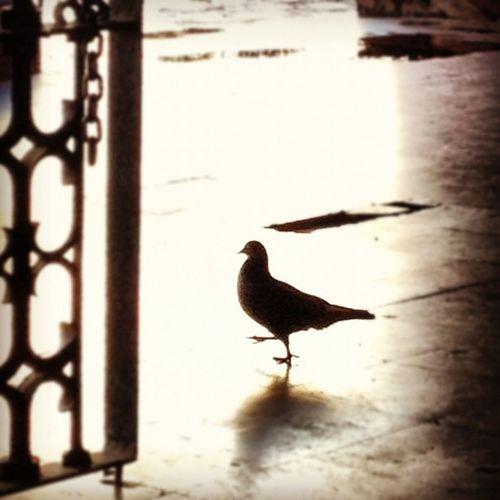 pigeon...