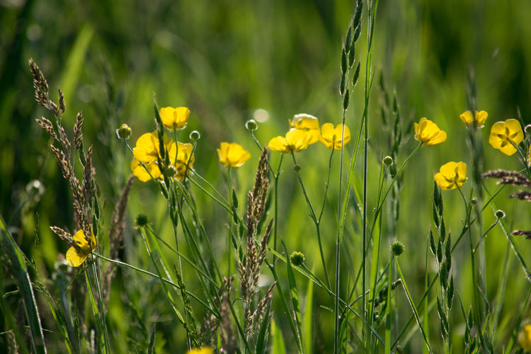 Close-up of yellow flowers blooming on field