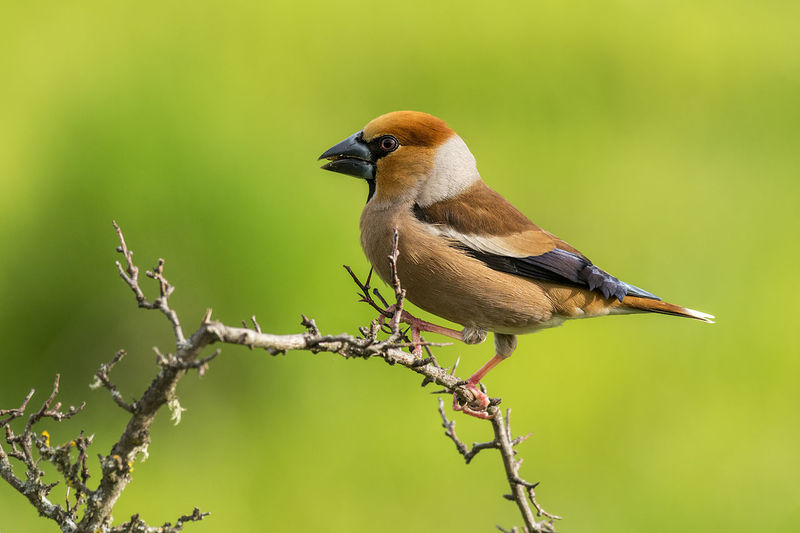 Coccothraustes Coccothraustes Hawfinch Animal Animal Themes Animal Wildlife Animals In The Wild Beauty In Nature Bird Branch Close-up Day Focus On Foreground Full Length Nature No People One Animal Outdoors Perching Plant Songbird  Twig Vertebrate