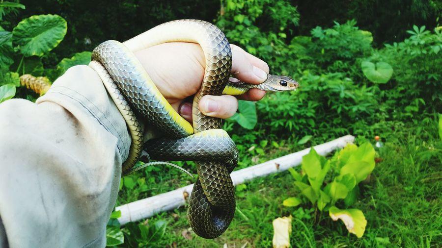 Cropped image of caretaker holding snake