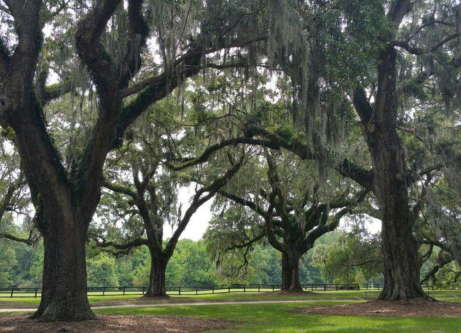 Spanishmoss Oaktree Trees Plantation Boonehallplantation Charleston Southcarolina Nature Liveoak Relaxing