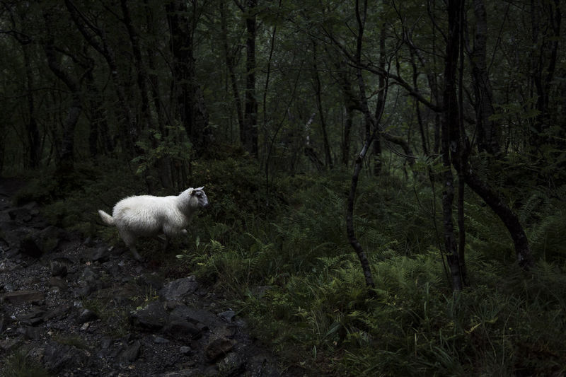 Sheep in a forest