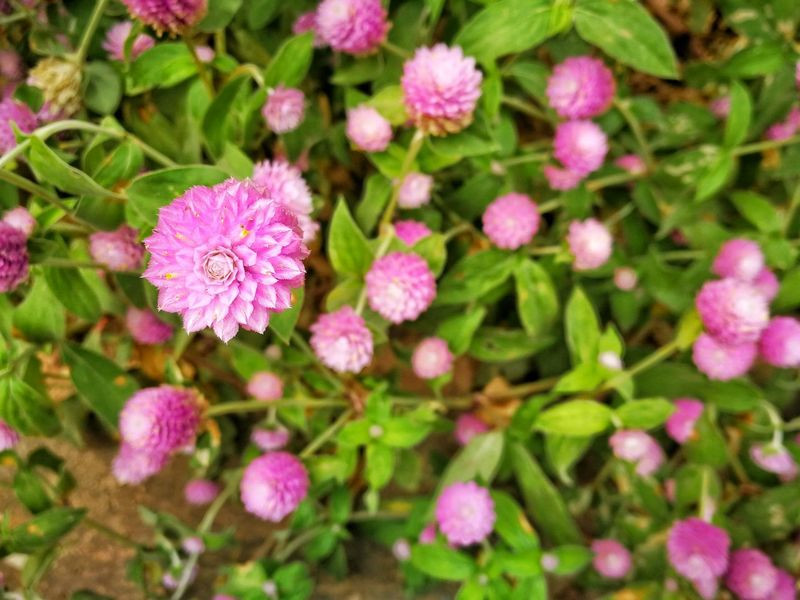 Gomphrena globosa, Globe Amaranth, Bachelor Button Gomphrena Globosa Globe Amaranth Bachelor Buttons Flower Pink Color Plant Nature Outdoors Leaf Day Green Color Beauty In Nature Plant Part Fragility Flower Head Botanical Garden