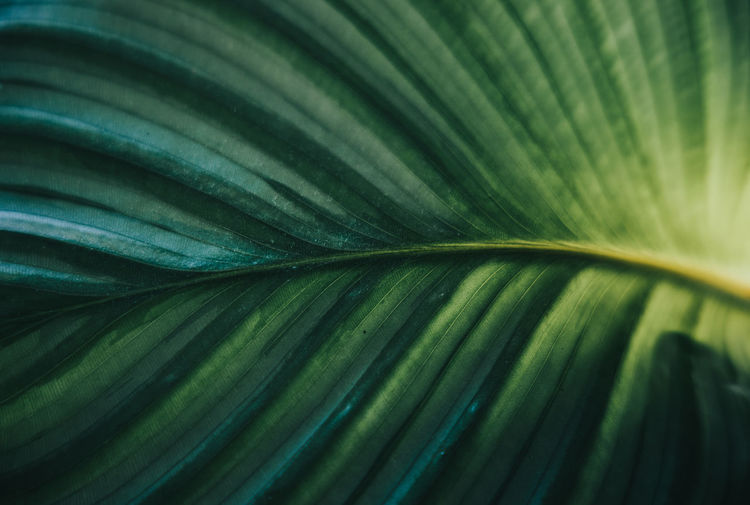 Full frame shot of calathea leaf