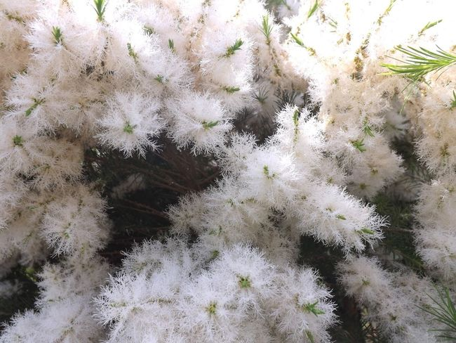 Growth Nature Plant No People Backgrounds Full Frame Close-up Day Cactus Uncultivated Beauty In Nature Outdoors Flower Fragility Freshness Flower Head Tea Tree Flower