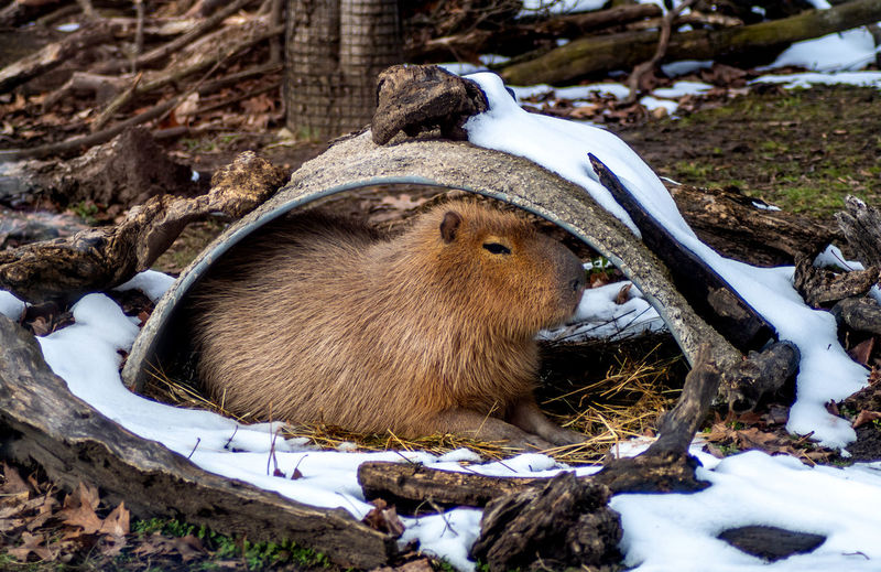 A capybara is the largest rodent in south america. this one relaxes in an outdoor house at a zoo.