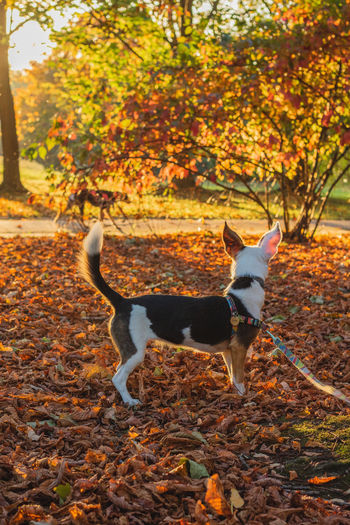 Animal Animal Themes Autumn Canine Change Dog Domestic Domestic Animals Full Length Leaf Leash Leaves Mammal Nature No People One Animal Orange Color Outdoors Pets Plant Plant Part Tree Vertebrate