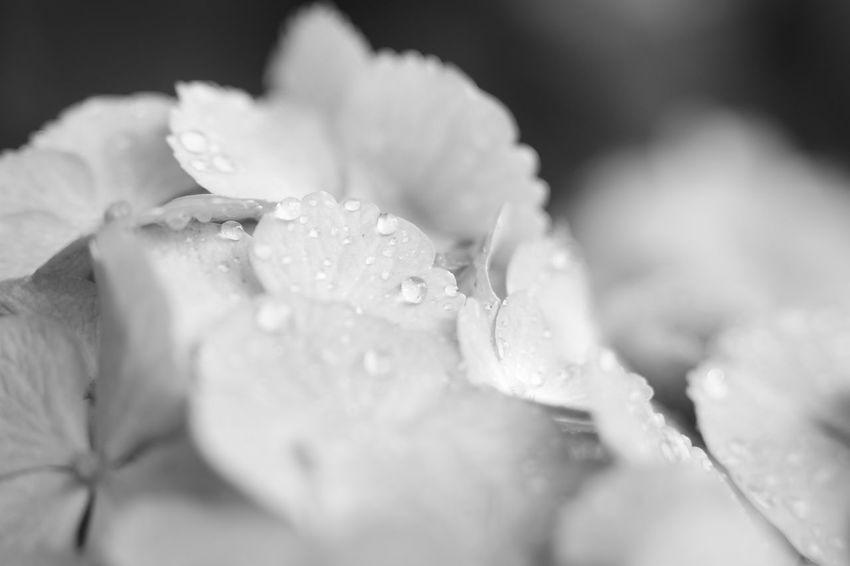 Hydrangea 紫陽花 紫陽花-hydrangea- 紫陽花2016 Enjoying Life EyeEm Nature Lover EyeEm Best Shots Flower Photography Eyeemmonochrome Monochrome MonochromePhotography Waterdrops
