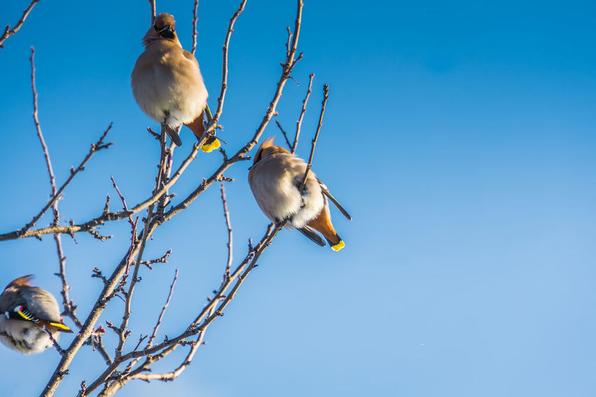 Wintertime Animal Animal Family Animal Themes Animal Wildlife Animals In The Wild Bird Blue Branch Clear Sky Day Group Of Animals Low Angle View Nature No People Perching Plant Sky Tree Two Animals Vertebrate Waxwing Waxwings
