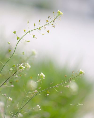 なずな ぺんぺん草 Plant Nature Growth Beauty In Nature No People Close-up Flower