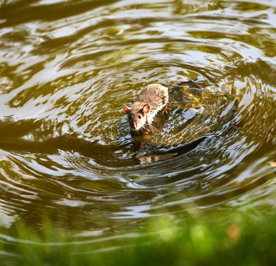 Rat Standing In Water