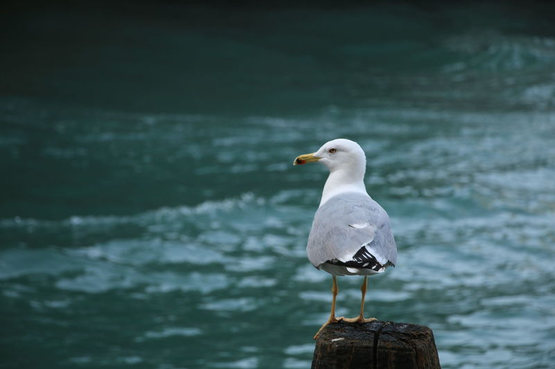 #Loveinvenice Water Venezia Rialto Bridge Canalgrande Love ♥ Flying High Sunny☀ Feeling Good #YBPhotographie IloveVenice Italy❤️ Outdoors Animal Themes One Animal Beauty In Nature