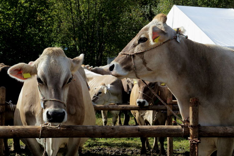 Cows Viehschau