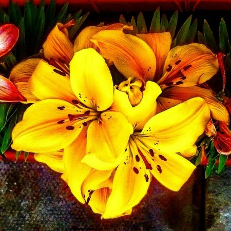 Yellow lilys xxxxxxx Nefilian Xxxxxxx Lilys Flowers Garden Photography Digital Art X