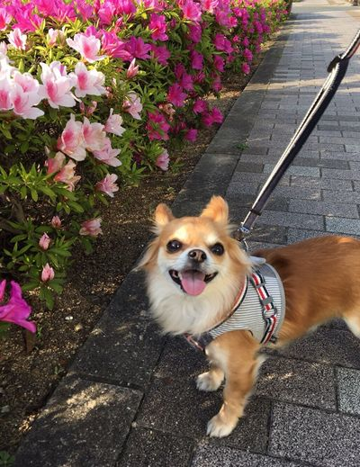 Dog Pets Domestic Animals One Animal Animal Themes Pet Leash Mammal Sticking Out Tongue Outdoors Flower Pet Collar Protruding High Angle View Pink Color No People Panting Day Plant Animal Tongue Portrait Azalea Niko 2yearsold  Chihuahua Family
