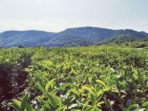Mountain Green Color Tranquil Scene Beauty In Nature Sky Agriculture Nature Field Non-urban Scene Cloud - Sky Green Tea Plantation  Tea Tea Plant