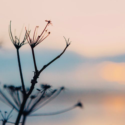 Close-up of plant against sunset