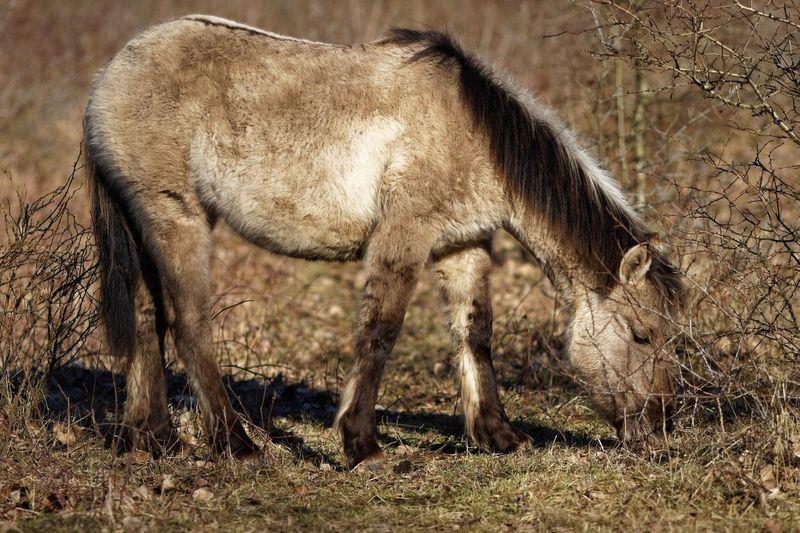 Horse Konikhorse Animal Animal Themes Animal Wildlife Mammal Animals In The Wild One Animal