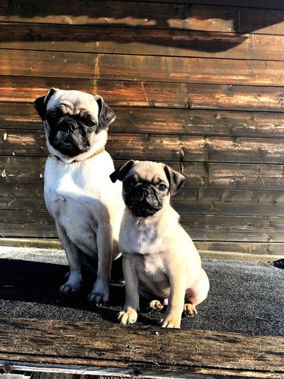 Mopsmutter mit ihrem Sohn Two Dogs Pug With Puppy Dog Pets Domestic Animals Pug Mammal Animal Themes Portrait Looking At Camera Outdoors No People Day