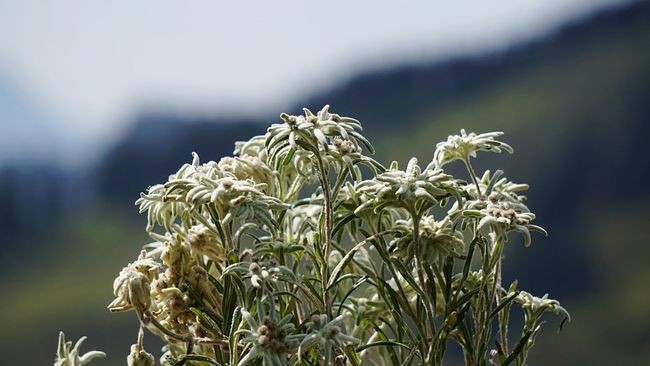 Edelweiss 🍃 Nature Flower Focus On Foreground Close-up Fragility Freshness Flower Head Sky Beauty In Nature From My Point Of View. Nature Nature Photography Alpenflora Blütenschönheit Uncultivated Closing Blossom Gebirge Blütenzauber Flowers, Nature And Beauty Beliebte Fotos