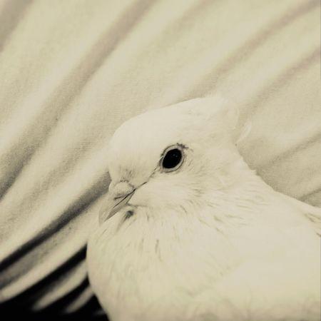 Mybird Pegion Pretty Angel