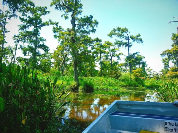 Louisiana Swamp Tracking Alligators