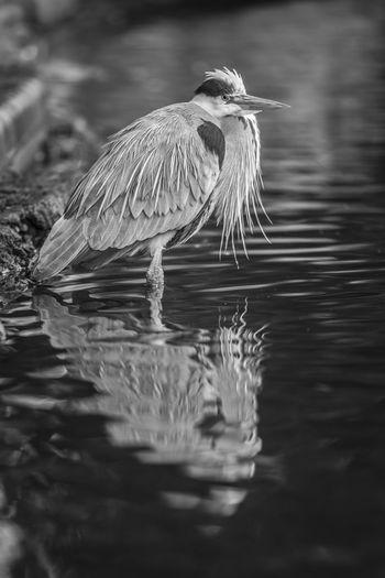 London Eye Em Best Shots -Black +White Herron Animals Birds EyeEm Birds Batterseapark