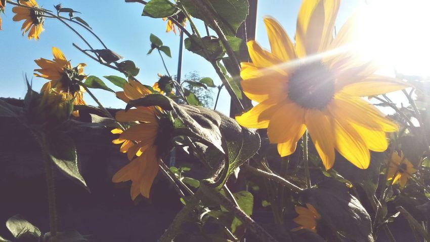 Summer Views Sunflowerlovers Sunflowermagic Grandmas Garden