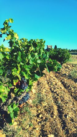 Enjoying Life Summer LG G4 Vacations Winery Chateauneufdupape Châteauneuf-du-Pape Cotes Du Rhone Red Wine Wineyard Wineyards