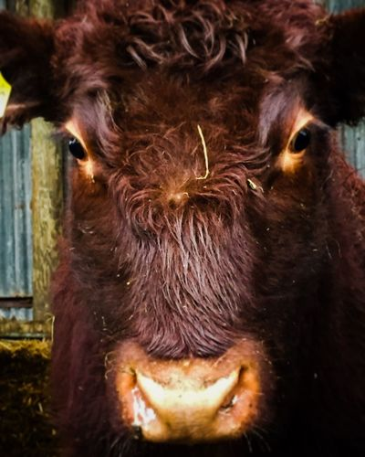 Moo Animal Themes Mammal Close-up No People One Animal Outdoors Nature EyEmNewHere Cow