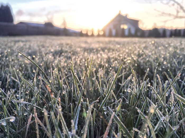 Frosted grass on field during sunrise