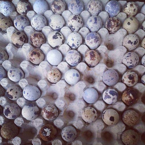 Quail's eggs. Telor puyuh. Eggs Quaileggs Telorpuyuh Telurburung telur