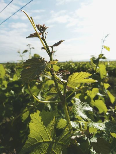 Nature Beauty In Nature Leaf Rural Scene Agriculture Sky Close-up Plant Green Color Vineyard Grape Vine - Plant