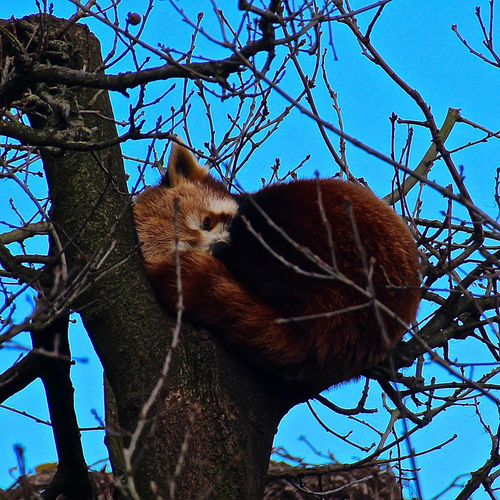 Bristol Zoo Animal Bare Tree Branch Bristol Bristol Zoo Captivity Mammal Nature One Animal Red Panda Tree Tree Trunk Wildlife Zoo