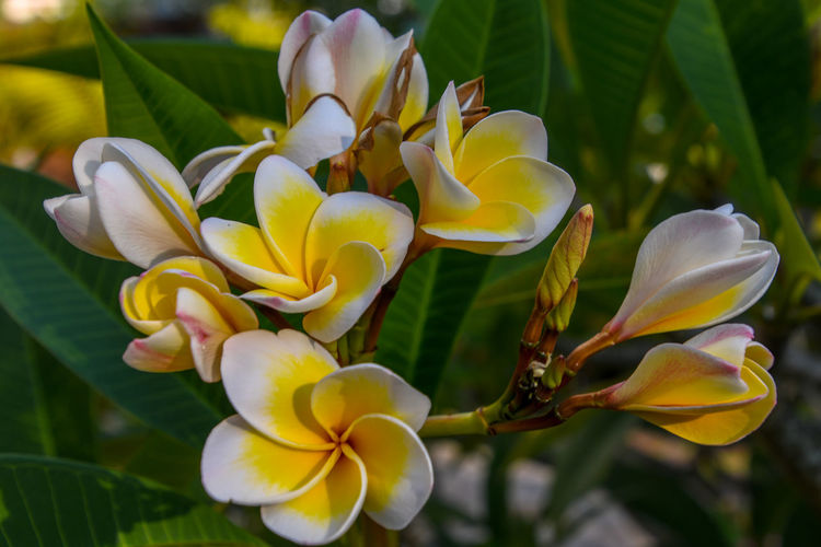 Beauty In Nature Botany Close-up Day Flower Flower Head Flowering Plant Focus On Foreground Fragility Frangipani Freshness Growth Inflorescence Nature No People Outdoors Petal Plant Springtime Vulnerability  Yellow